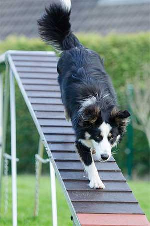 Dog Agility Training tips