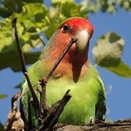 Popular Pet Bird Breeds Lovebird