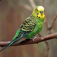 Popular Pet Bird Breeds Parakeet