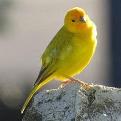 Popular Pet Bird Breeds Canary