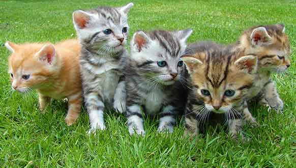 Cat breeds for first time owners