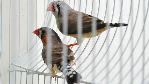 Finch bird breeding guide