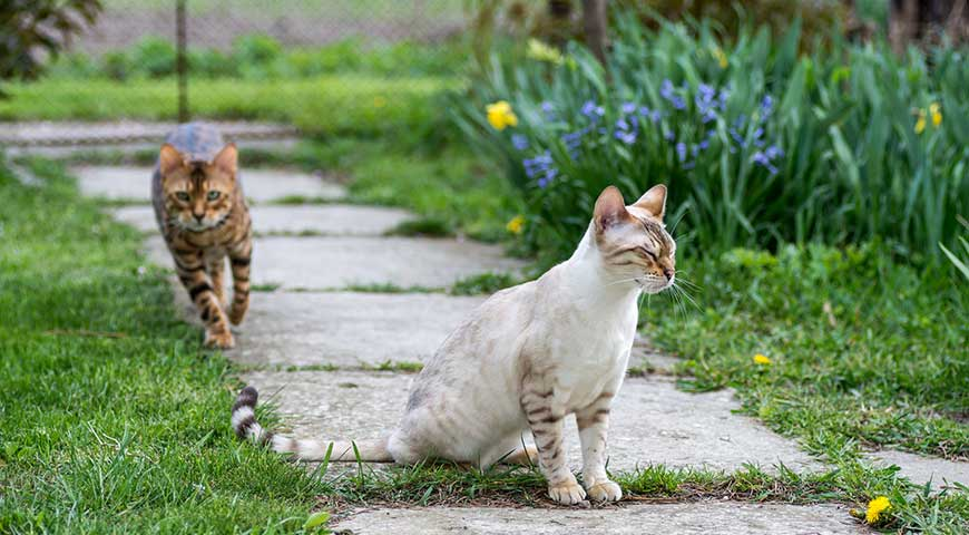 Is a Bengal cat right for me