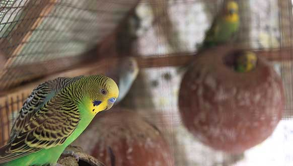 Parakeets Breeding Tips