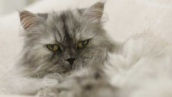 Persian cat as pet