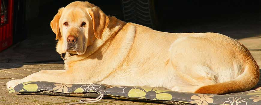 Best Therapy Dog Breeds Golden retriever