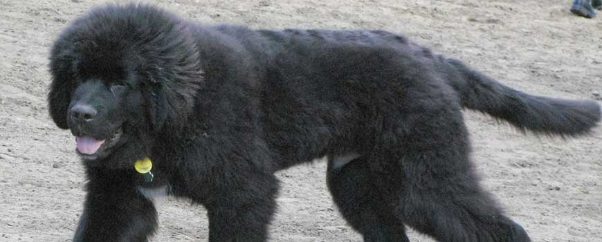 Best Therapy Dog Breeds Newfoundland