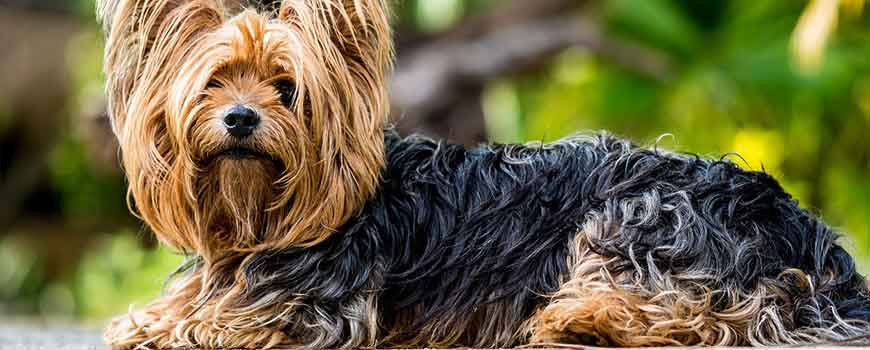 Best Therapy Dog Breeds Yorkshire terrier