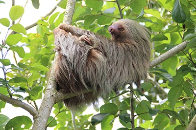 Why Sloths Probably Aren't the Best Pets