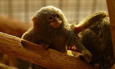 Pygmy marmoset as a pet