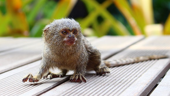 Pygmy marmoset as a pet