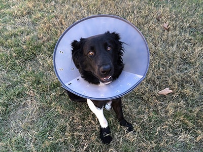 How to keep dog from licking wound on paw