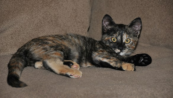 Male tortoiseshell cat price