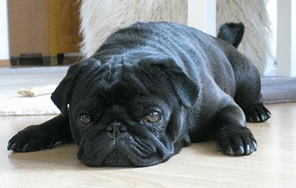 Can I give my dog amoxicillin