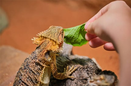 Vegetables that a bearded dragon can have