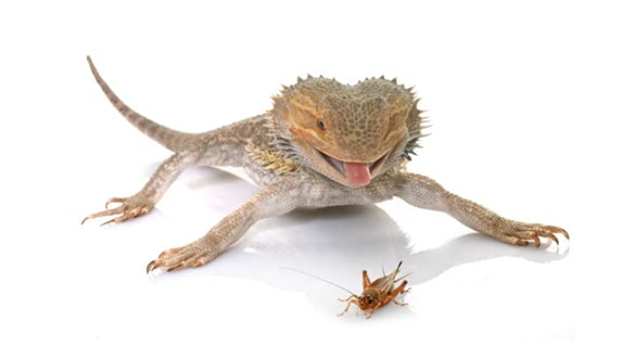 What do bearded dragons eat list