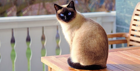 How Much Do Siamese Cats Cost