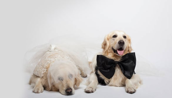 Male Vs. Female Golden Retrievers: Which One Is Better for You?