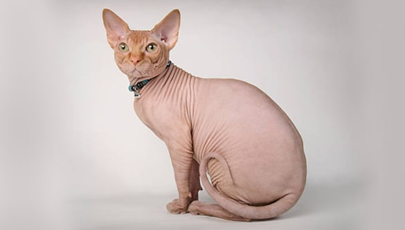 Why Sphynx Cats Cost So Much Learn About The Sphynx Cat Breed