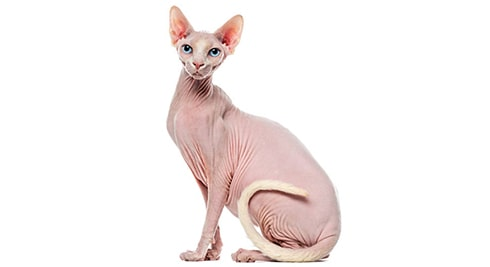 Why Sphynx Cats Cost So Much