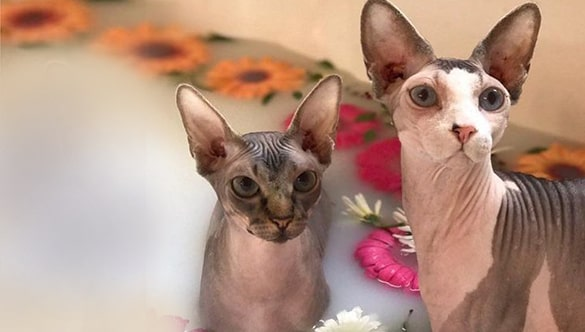 BEST SHAMPOOS FOR SPHYNX CATS