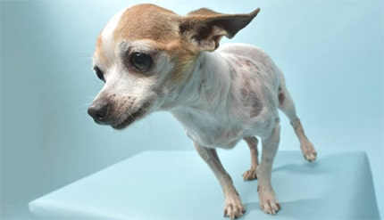 What causes cushing's disease in dogs