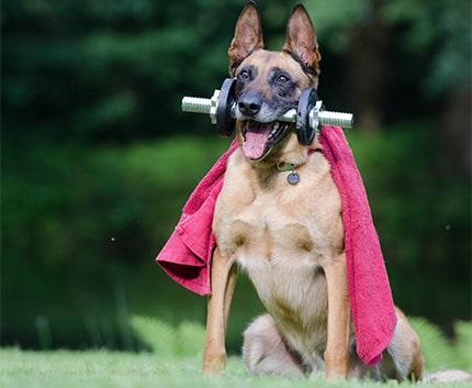 Belgian Malinois Dogs Exercise