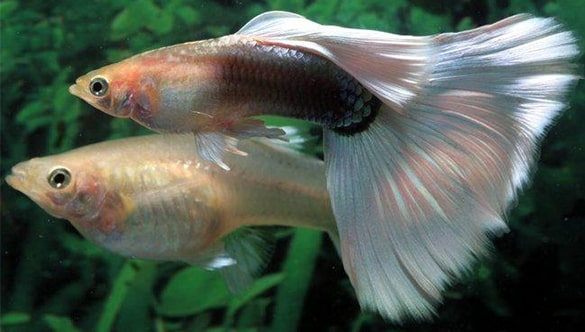 Why Do Tuxedo Guppies Eat Their Babies?