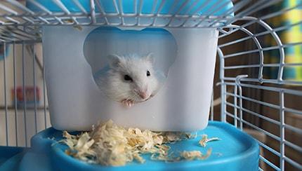 Do Hamsters make good pets
