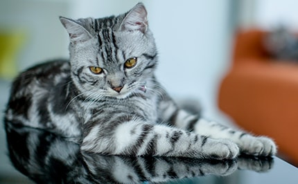 How Much Does an American Shorthair Cat Cost | Upbringing Cost