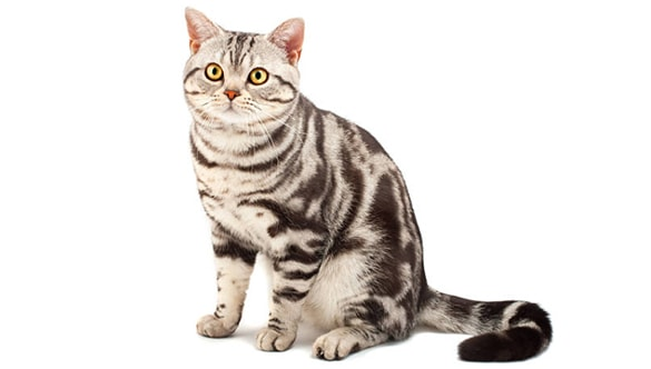 How Much is a Male Calico Cat Worth? Why are Male Calico ...