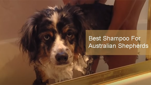 Best Shampoo For Australian Shepherds