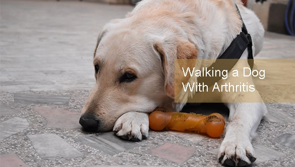 Walking a Dog With Arthritis