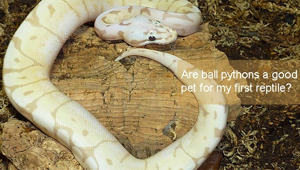 Are ball pythons a good pet for my first reptile?