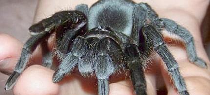 How To Care For Brazilian Black Tarantula