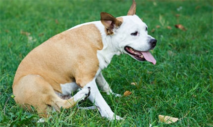 Ways To Help A Pitbull With Allergies