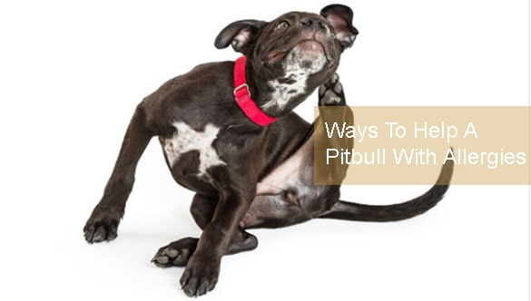 6 Inexpensive And Effective Ways To Help A Pitbull With Allergies