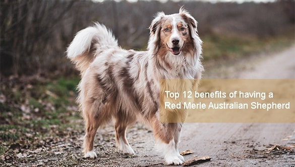 The Advantages of Owning a Red Merle Australian Shepherd