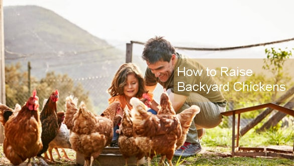 How to Raise Backyard Chickens