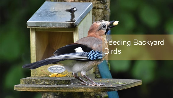 What Everyone Should Know About Feeding Backyard Birds