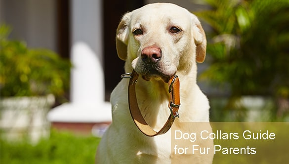 A Fur Parent's Short Guide To Dog Collars Canada