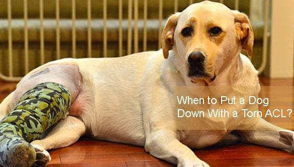 When to Put a Dog Down With a Torn ACL?